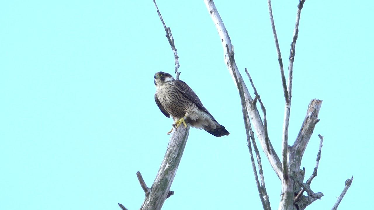 Embedded thumbnail for The Netherlands: Peregrine Falcon