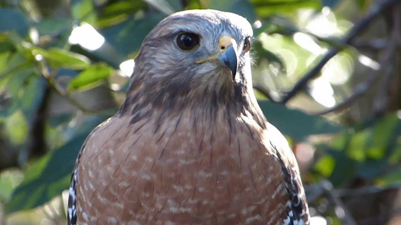 Embedded thumbnail for Florida (USA): Red-shouldered Hawk - Close-up