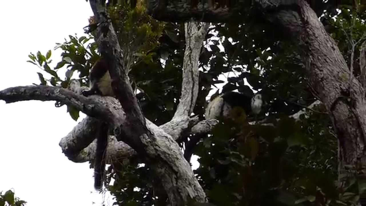 Embedded thumbnail for Madagascar: Black-and-white Ruffed Lemur