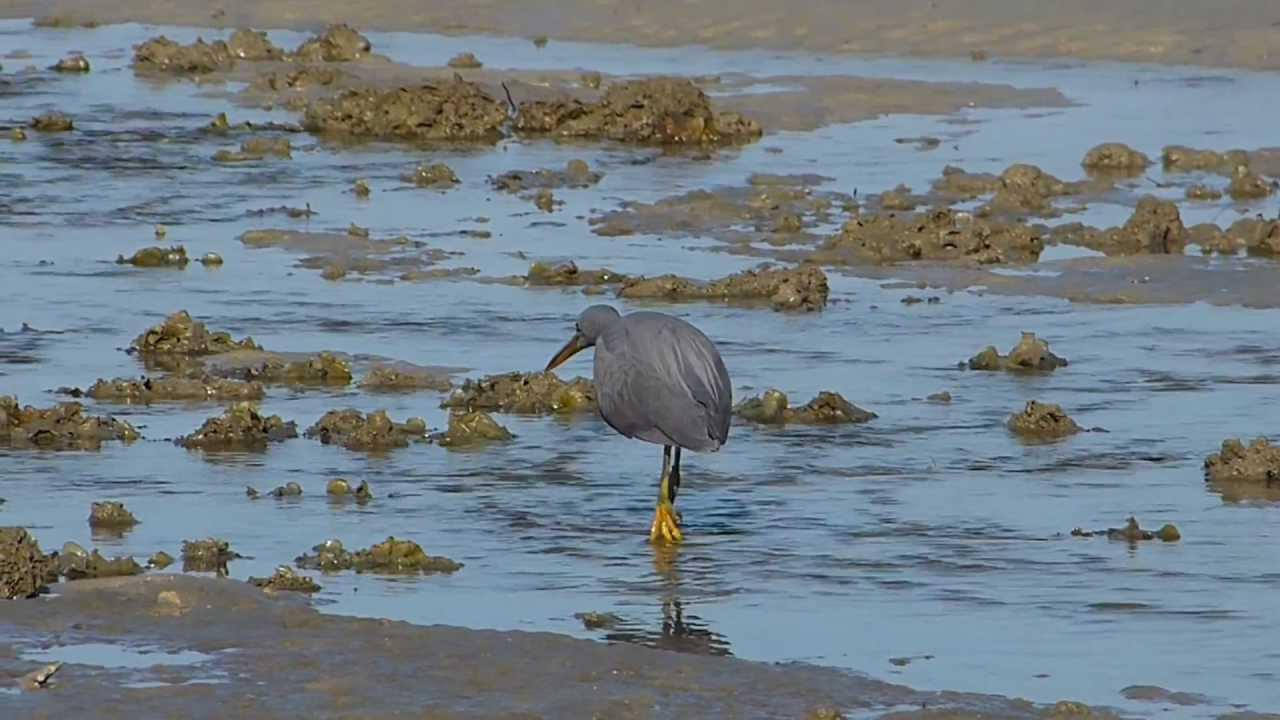 Embedded thumbnail for Thailand: Pacific Reef Egret