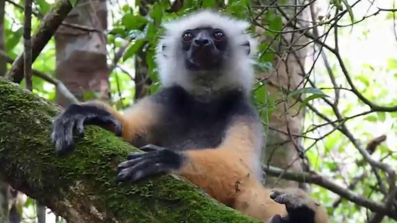 Embedded thumbnail for Madagascar: Diademed Sifaka - Being lazy