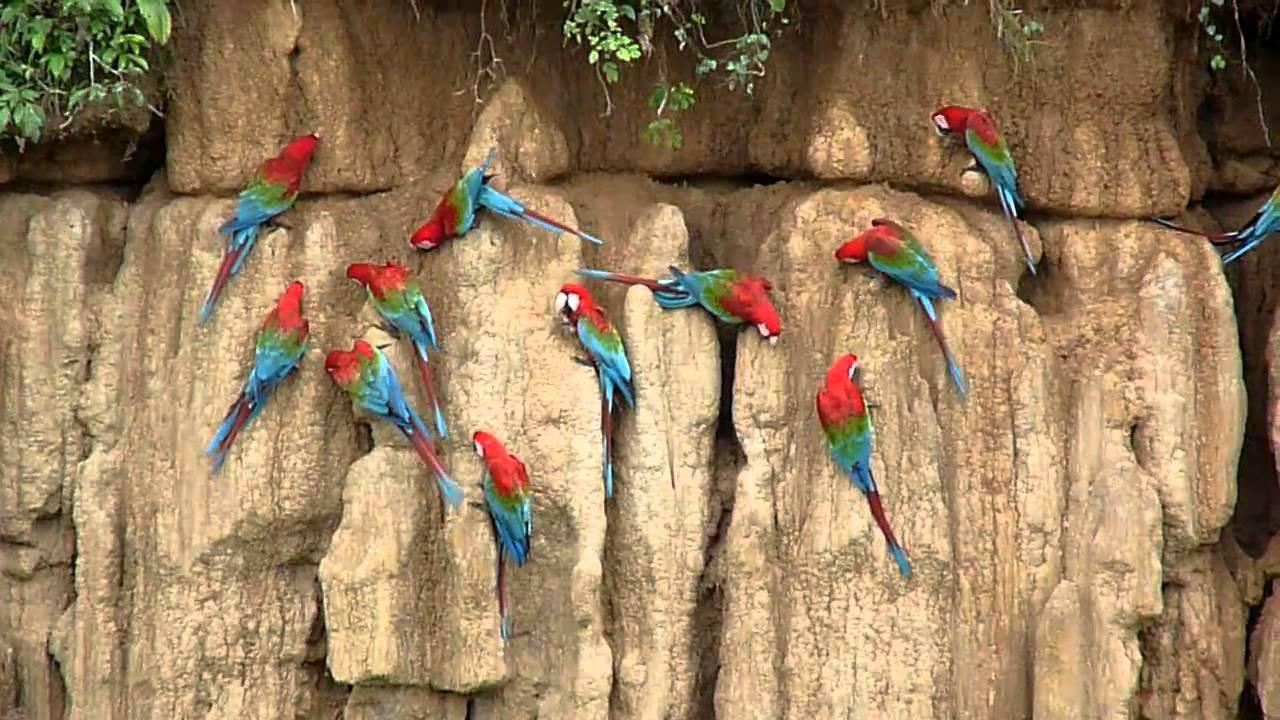 Embedded thumbnail for Peru: Red-and-Green Macaws