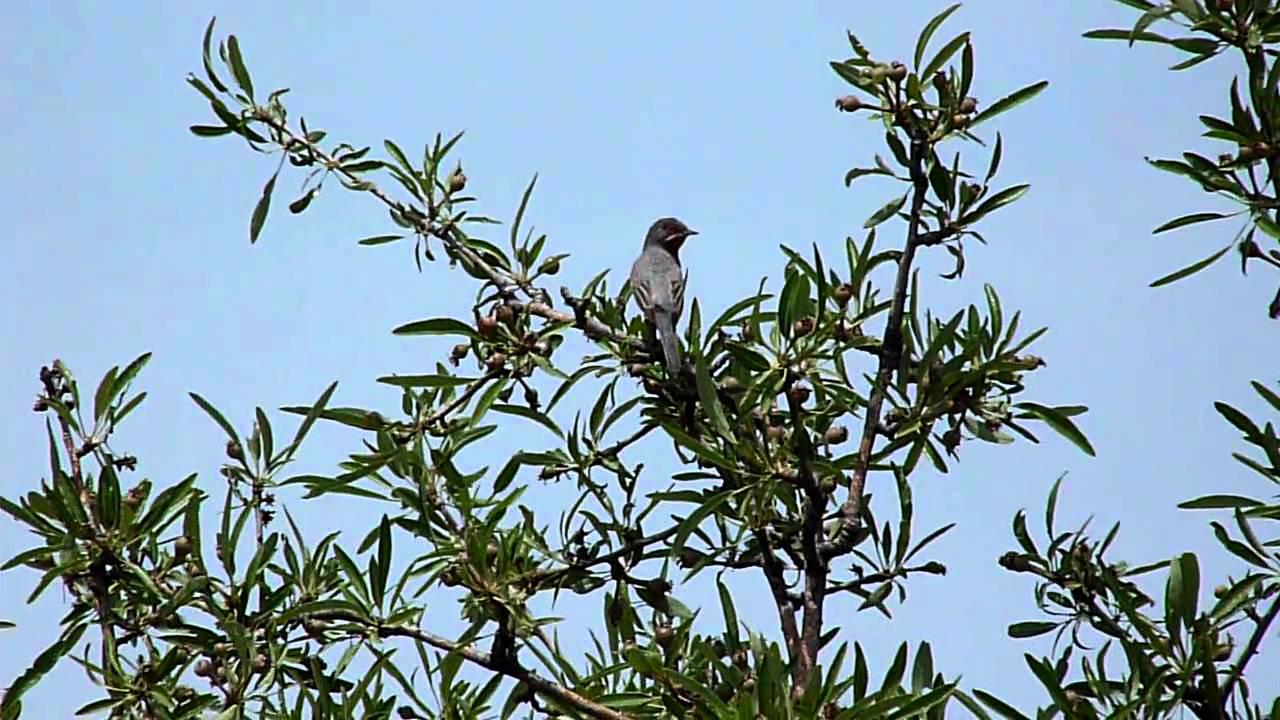 Embedded thumbnail for Lesvos, Greece: Subalpine Warbler