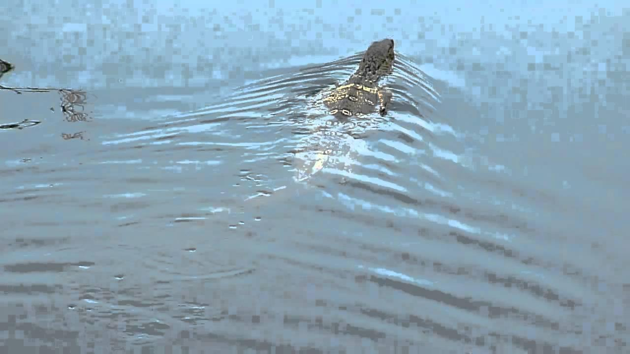 Embedded thumbnail for Thailand: South East Asian Water Monitor