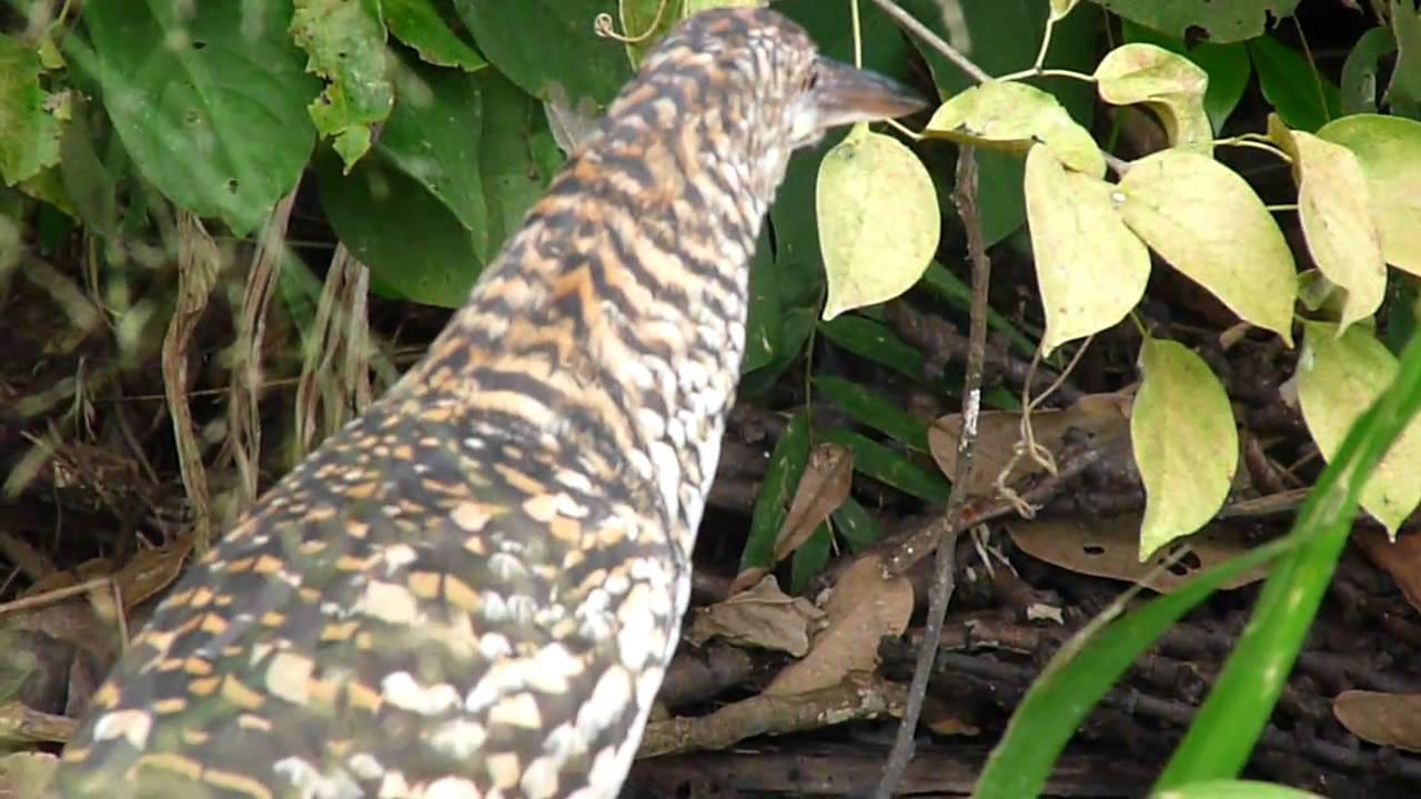 Embedded thumbnail for Peru: Rufescent Tiger-heron