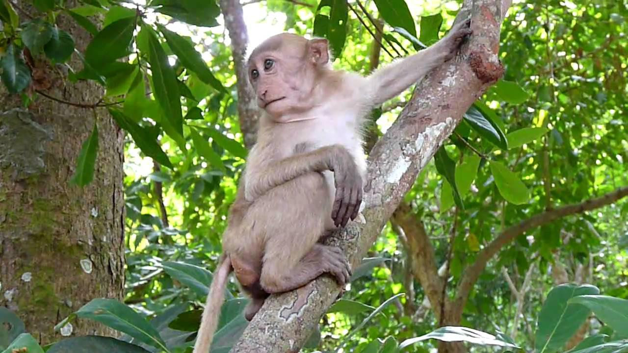 Embedded thumbnail for Thailand: Rhesus Macaque