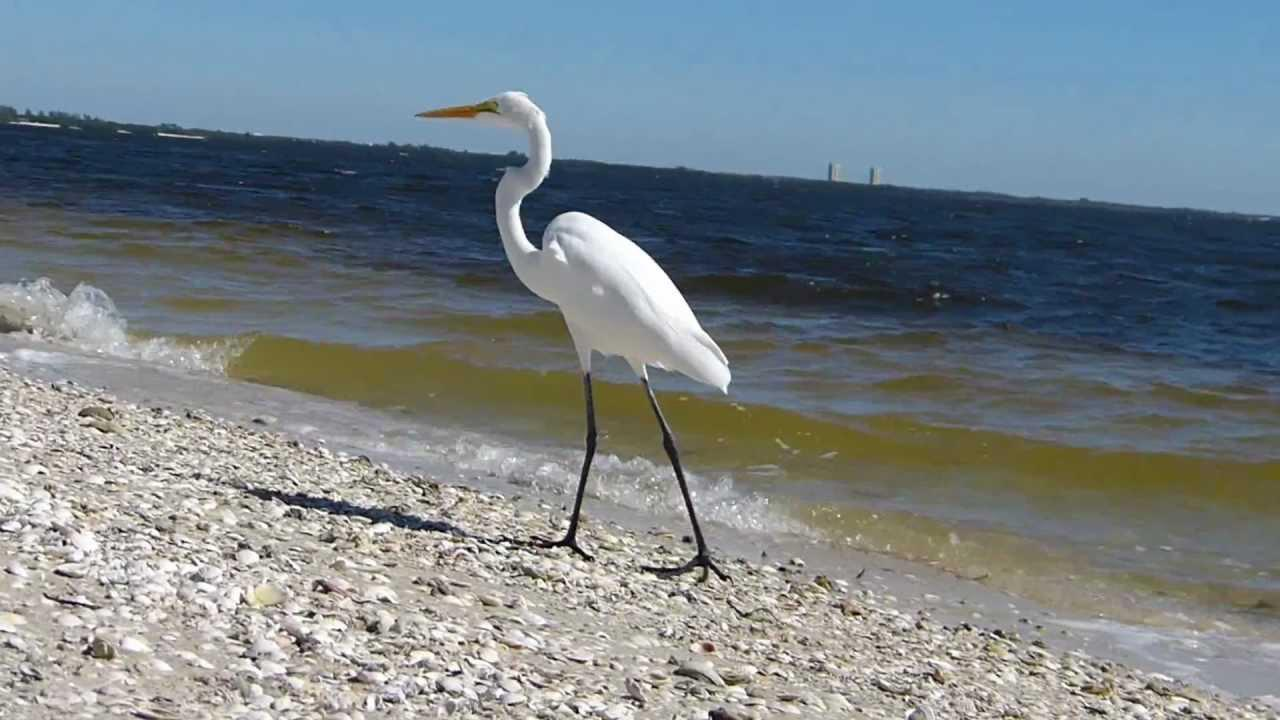 Embedded thumbnail for Florida (USA): Great Egret