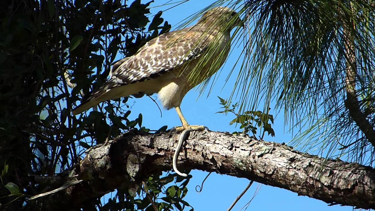 Embedded thumbnail for Florida (USA): Red-shouldered Hawk - Eating a snake