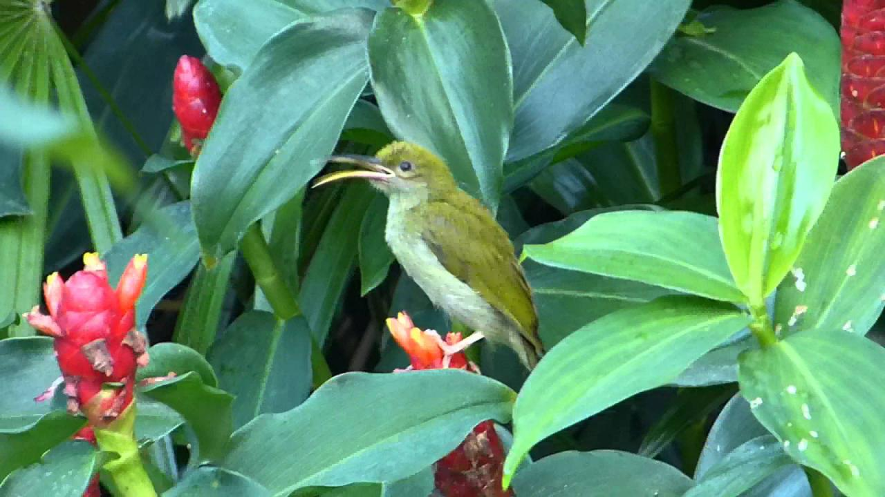Embedded thumbnail for Thailand: Grey-breasted Spiderhunter