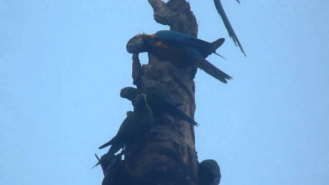 Embedded thumbnail for Peru: Blue-and-Yellow Macaws & Red-bellied Macaws