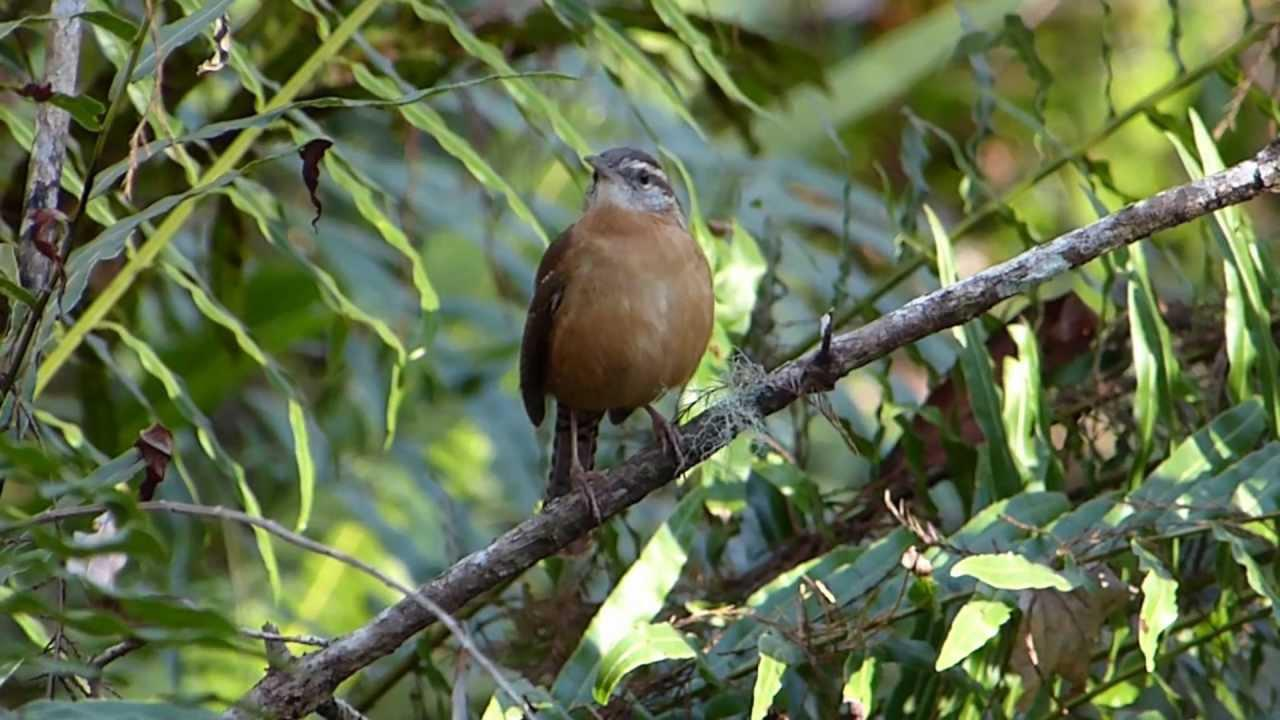 Embedded thumbnail for Florida (USA): Carolina Wren - Singing