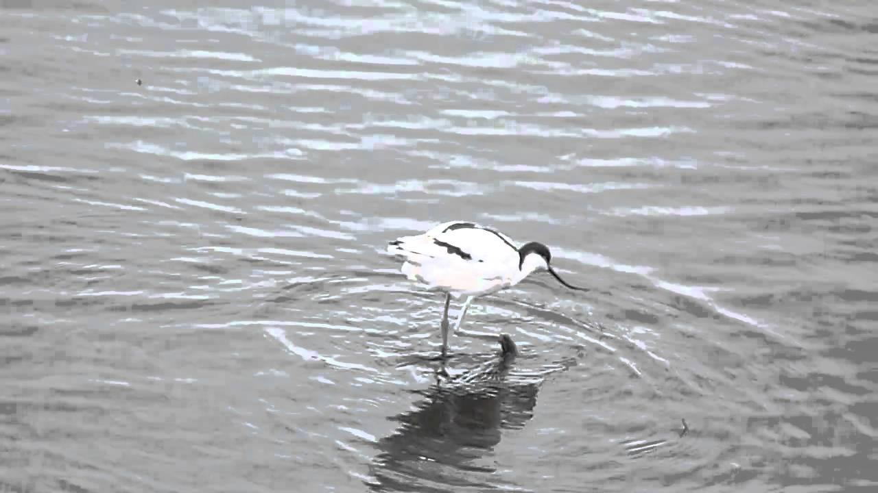Embedded thumbnail for England: Pied Avocet - Foraging