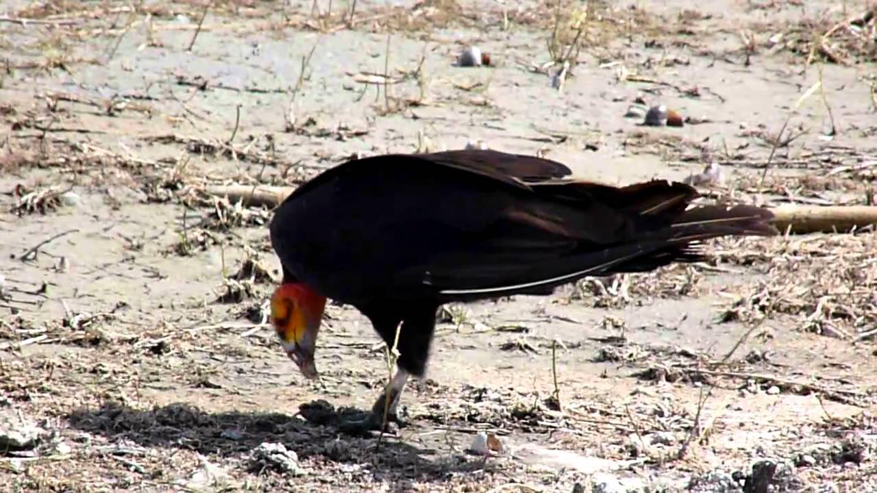 Embedded thumbnail for Belize: Lesser Yellow-headed Vulture