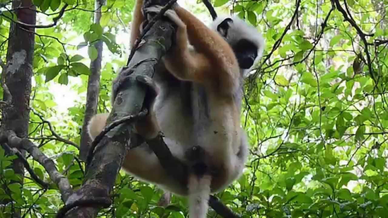 Embedded thumbnail for Madagascar: Diademed Sifaka - Hanging
